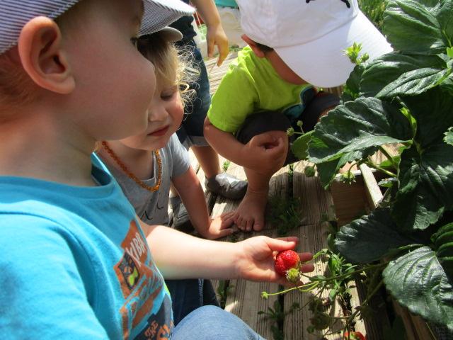 Les premières fraises...